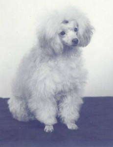 Small white poodle