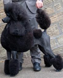 cstandardpoodle