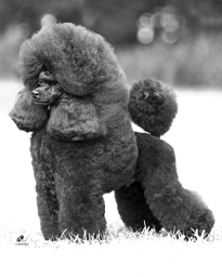 Toy Poodle Champions