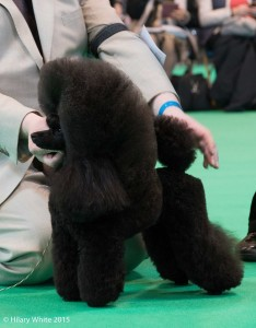 Star, Crufts 2015